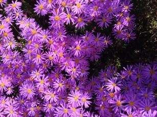 aster-like_flowers_UCSC_arboretum