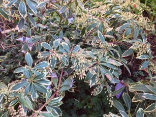pieris_japonica_variegated