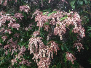 pieris_Valley_Valentine-closeup.1600