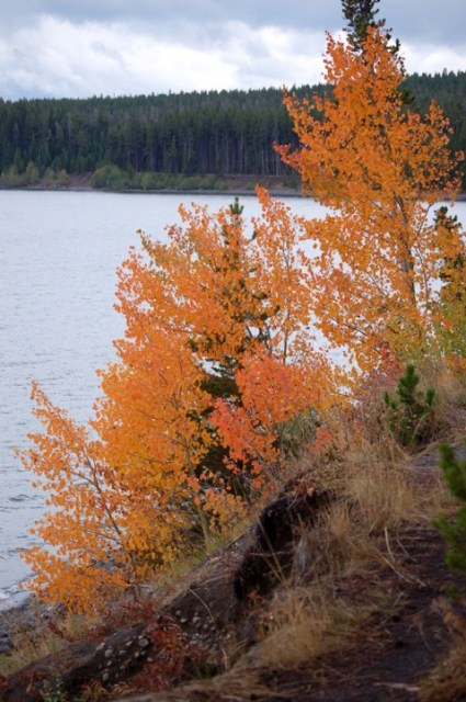 fall color_maples-Yellowstone_Lake