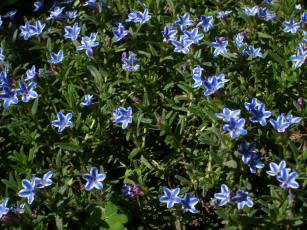 lithodora_Grace_Ward