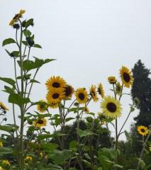 sunflower pollinator attractors