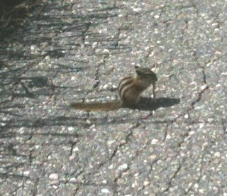 Tiny chipmunk at the Columbia Icefields