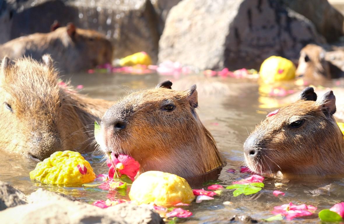 Capybara Onsen in Japan