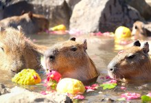 Meeting Capybaras in Japan + Capybara Onsen!