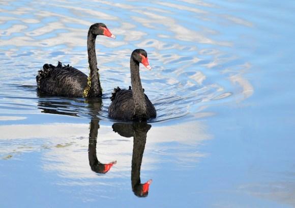 BlackSwans