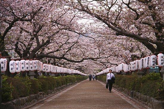 Cherry Blossom Report 2010 Kamakura Report