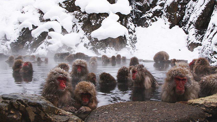 Yamanouchi Travel: Jigokudani Monkey Park (Snow Monkeys)