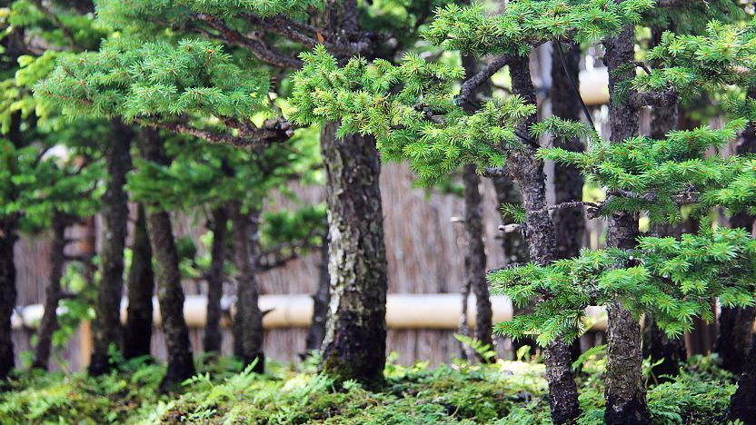 Save $52 for a limited time! Bonsai Where To See Bonsai In Japan