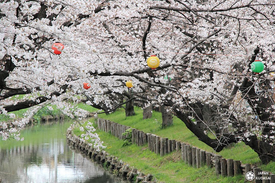 cerisiers rivière shingashi kawagoe