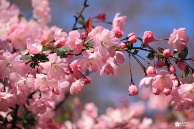 cerisiers du parc shinjuku gyoen