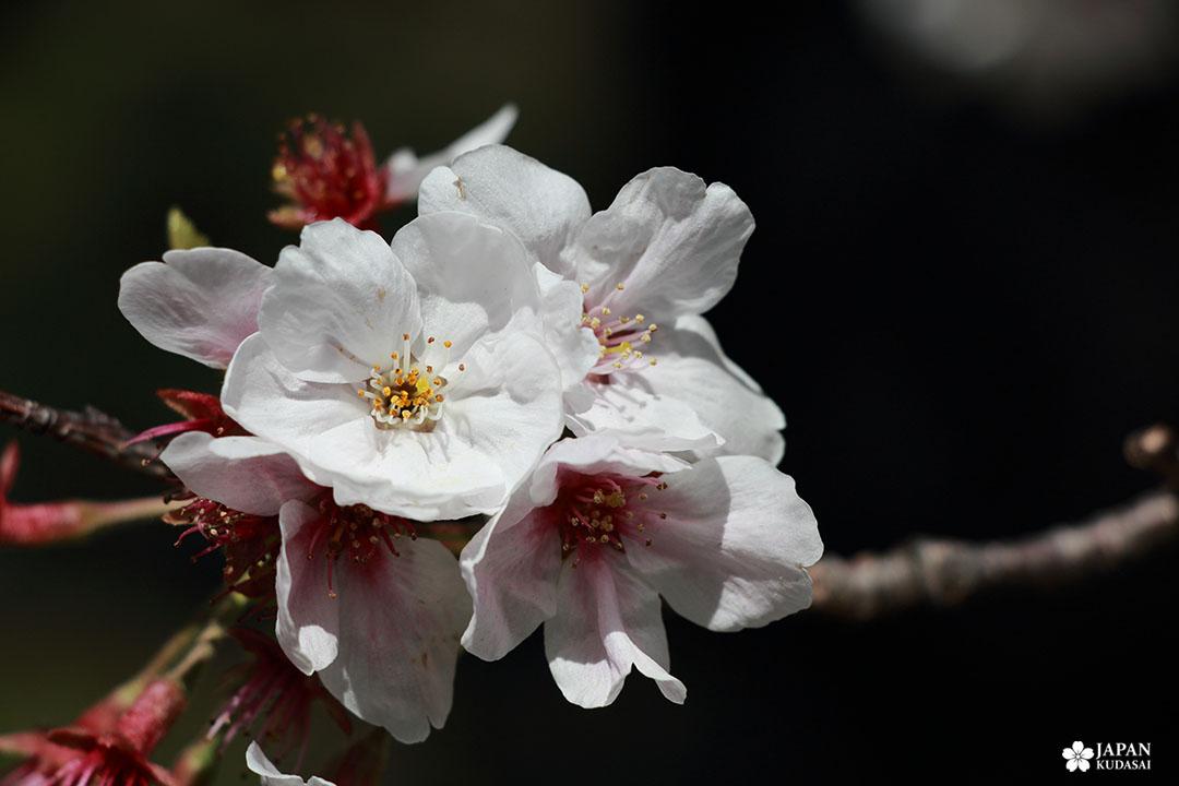 détail zoom fleur de cerisier japonais à tokyo