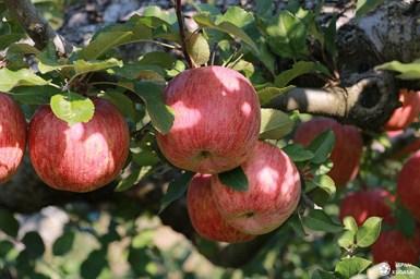 nagano-apple-japan