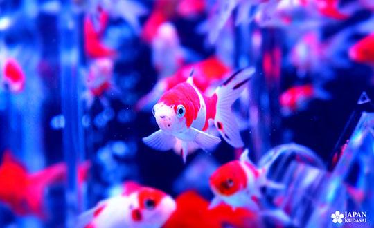 art-aquarium-kyoto-nijo (7)