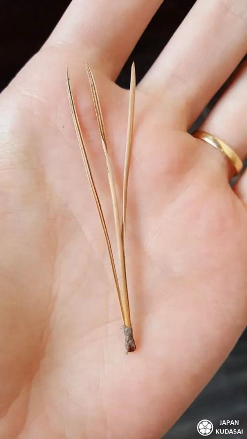 auiguille-pin-koyasan