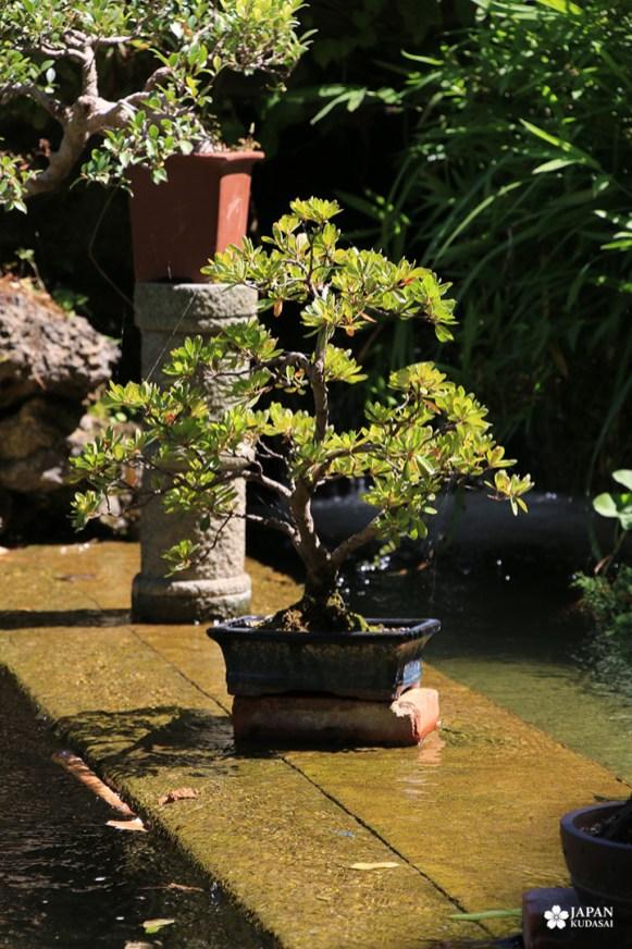 pin bonsai