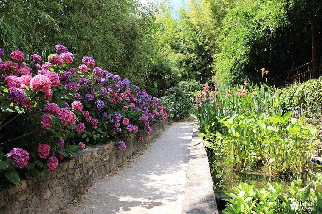 massif hortensias en fleurs