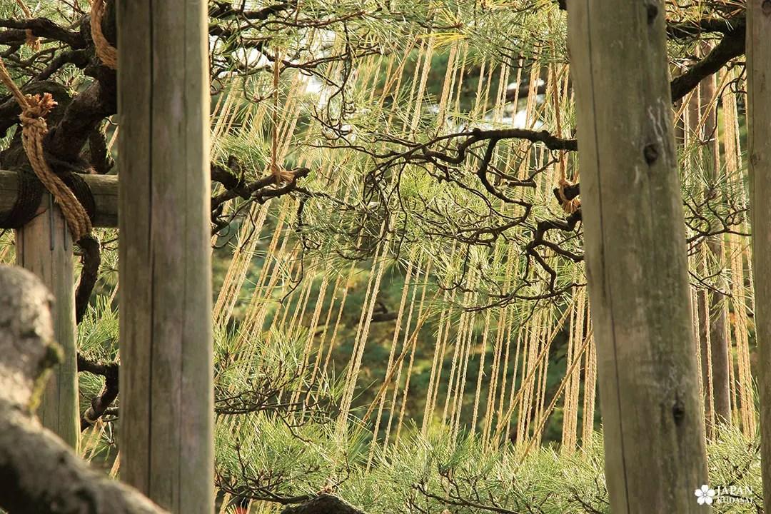 yukitsuru protection arbre hiver au japon à kanazawa
