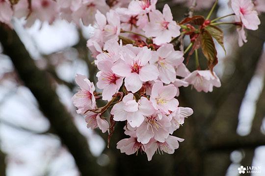 sakura-dijon-jardin-japonais (6)