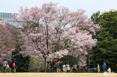 sakura-jardin-imperial-tokyo-04