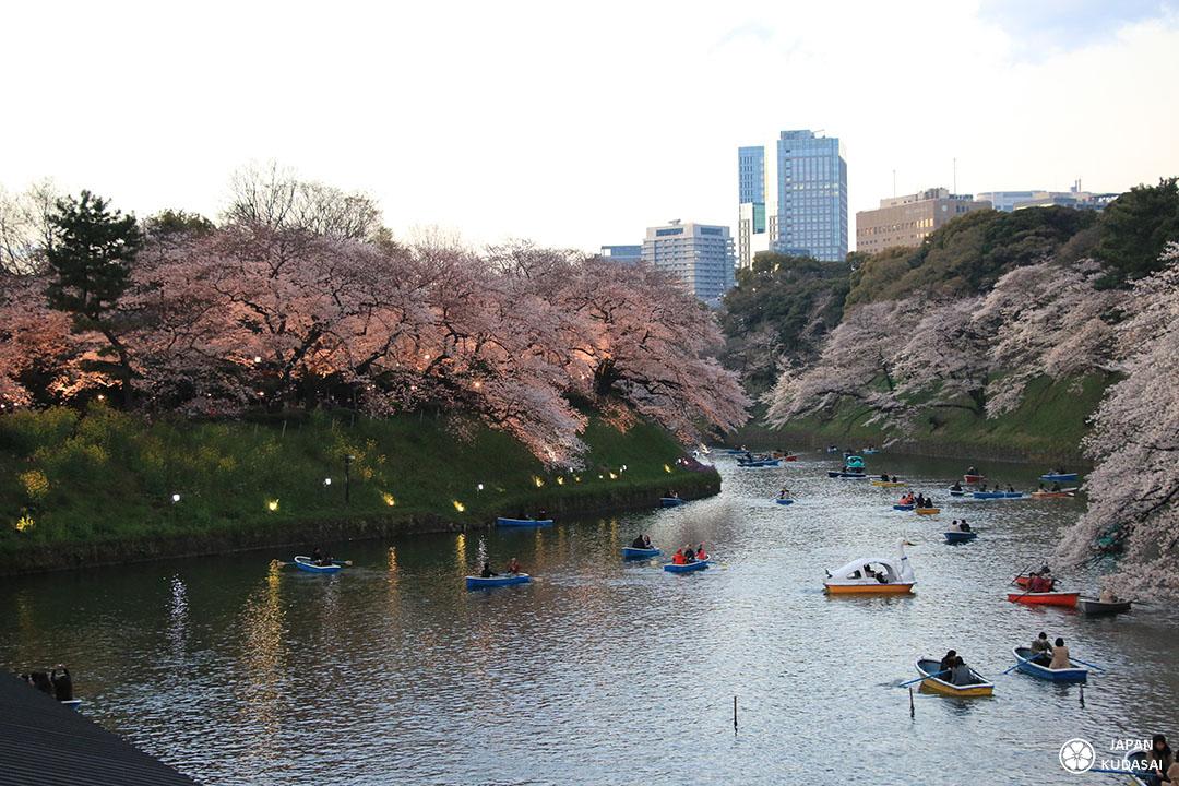 chidorigafuchi, les cerisiers éclairés au soir