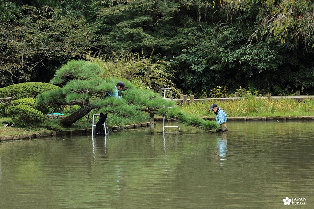 jardinier taille pin japonais sankei en