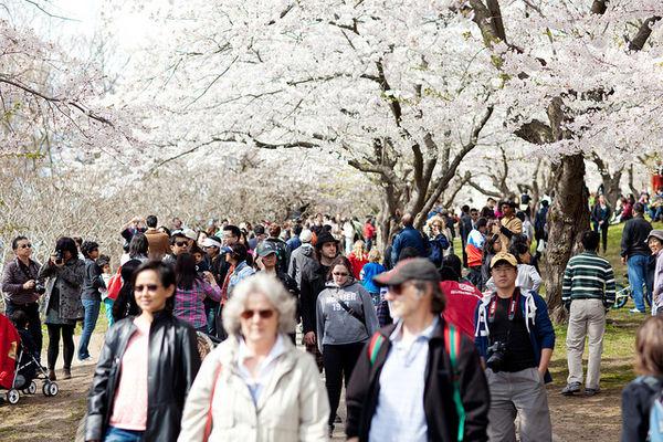 toronto sakura