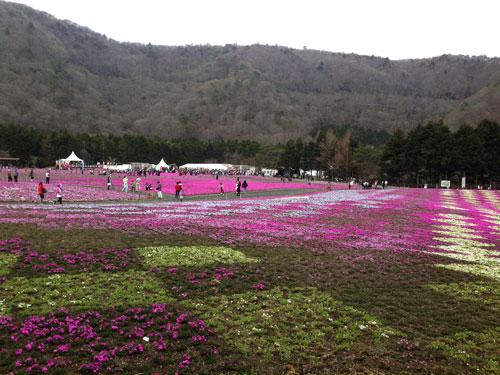 Mt Fuji Shibazakura Festival 2021 | Travel Guide