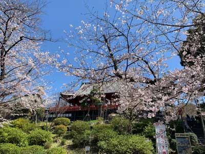 Hanami Cherry Blossom Viewing