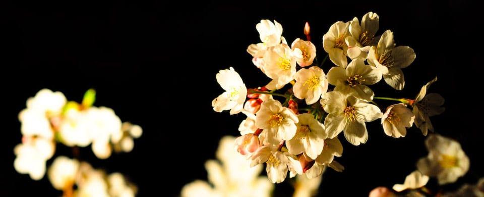 hanami-by-night-tokyo-Jacob-Ehnmark-CC-BY-20
