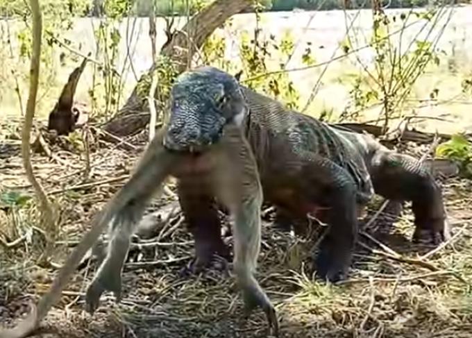 英国も注目!衝撃映像】巨大コモドドラゴンがサルを丸ごと飲み込ん ...