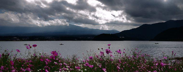 Cosmos flowers by Lake Kawaguchi
