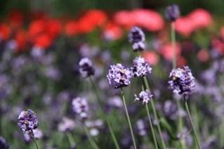 Hoshi Hayazaki lavender with fragrance