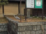 2 cranes in the moat surronding To-ji