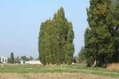 our favourite Poplar tree rows