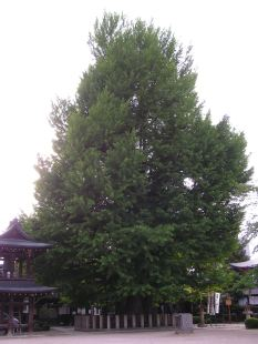 Old Ginkgo tree of over 1000 years