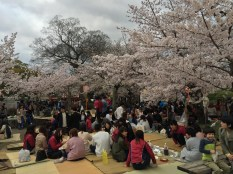 locals and some foreigners were having a good time for Hanami