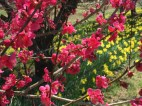 Red Ume in blossom