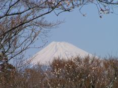 Mt Fuji in the backdrop of Ume blossom