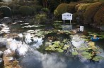 a separate pond with lotus