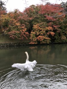 an exhilarated swan