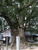Camphor tree estimated to be over 1000 years old