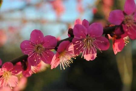 Prunus mume - flores de ameixa