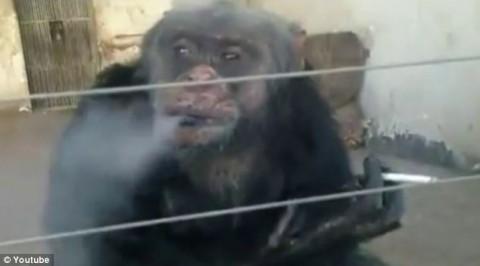 شمبانزي مدمن على تدخين السجائر