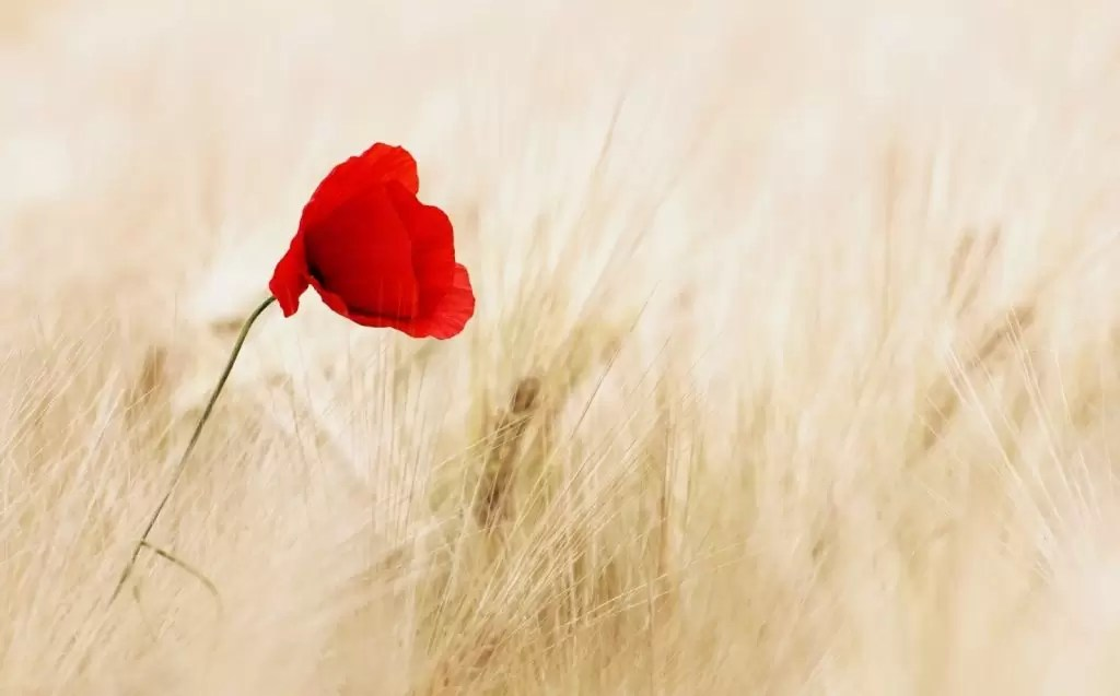 1-red-poppy-in-field