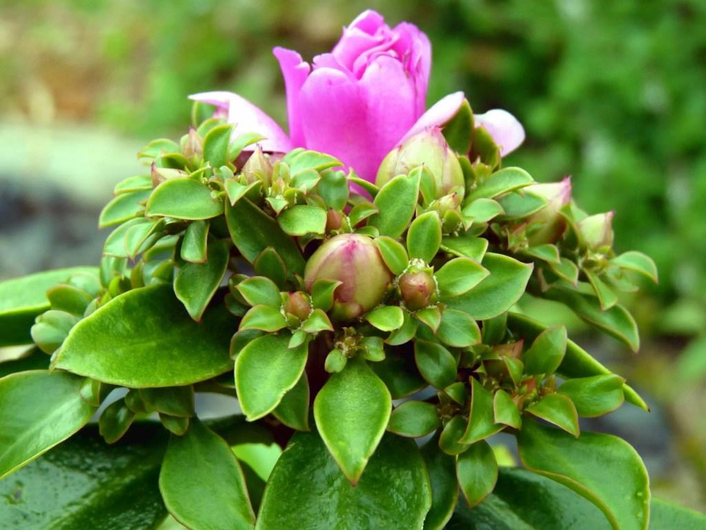 Ora-pro-nobis em flor no meu jardim. É uma PANC (planta alimentícia não convencional).
