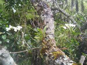 Orchidée épiphite en amazonie