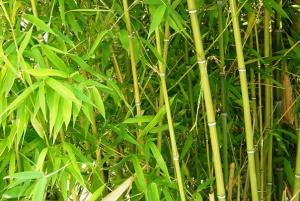 proliferation bambou