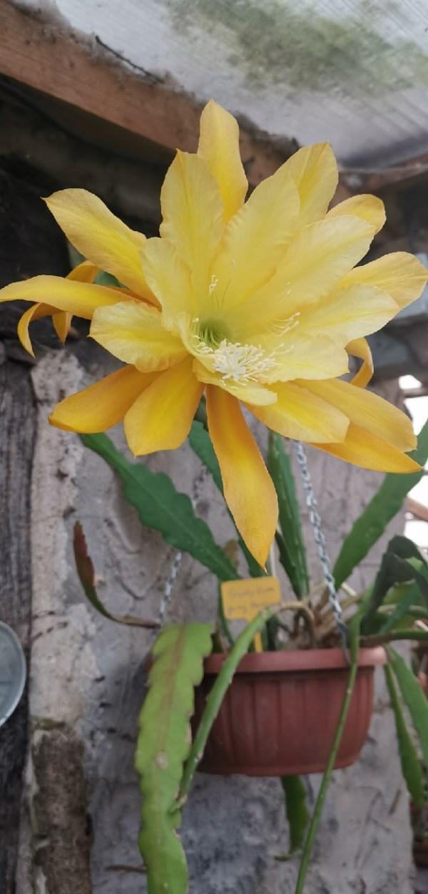 Epiphyllum Going bananas