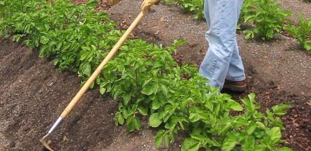 Quand et comment planter des pommes de terre